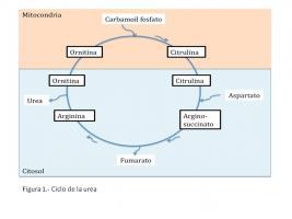 esquema del metabolismo simptoms